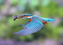 Kingfisher x - post from rpics