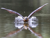Kissing the water surface Flying fox