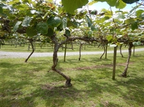 Kiwifruit trees Actinidia deliciosa strung on wire at a plantation