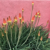 Kniphofia Flamenco AKA Red Hot Poker - Torch Lily mound from my backyard