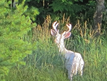 Known as the Ghost Deer in my neck of the woods Albino Buck
