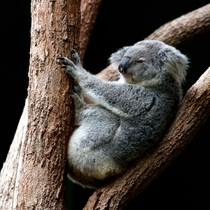 Koala doing what koalas do best Photo credit to Holger Link