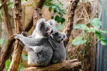 Koalas - Mother and child