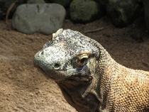 Komodo Dragons are fascinating lizards