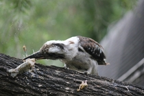 Kookaburra preparing lunch