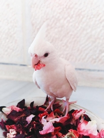 l lost my baby cockatiel tonight my daughter brings hem out and suddenly he flight farIll be looking for him early in the morning hell certainly be hungry and hell respond to the feeding call He is two months old and has not weaning yet and my heart is br