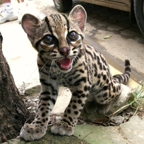 Ladies and Gentlemen I give you the Margay  Scientific name  Leopardus Wiedii  X