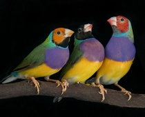 Lady Gouldian finches photographed at the Pandemonium Aviaries in California by Michael D Kern