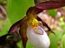 Ladys slipper orchid Cypripedium montanum blooming in the Cascade Mountains WA photo by Rosalee de la Foret