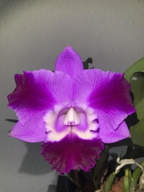 Laeliocattleya hybrid Mini Song