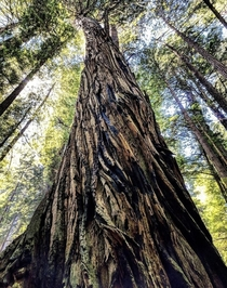 Land of Giants Redwood National Park California  x