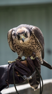 Lanner Falcon eating a chicken foot Falco biarmicus  x