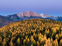 Larch Trees during Fall in Montana