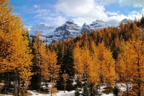 Larch trees make for a spectacular scene this weekend high up in Larch Valley in Banff National Park AB