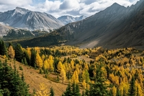 Larches changing their colours in the Canadian Rockies  IG zekernaut
