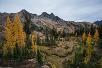 Larches on full display on the trail to Lake Ingalls Washington