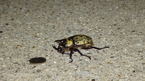 Large horned beetle I found crawling around dime shown for scale