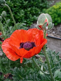 Large Poppy flower