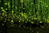 Last Dance of the Fairies by Yume Cyan - Fireflies in a Japanese forest