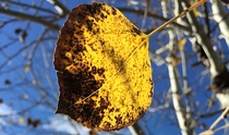 Last legs for leaves Aspen - Populus tremuloides