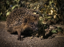 Last night encounter with a Hedgehog on the way home  Erinaceus europaeus