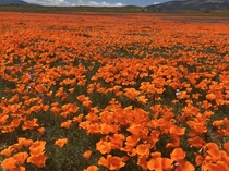 Last of the poppy super bloom at Tejon Ranch CA April
