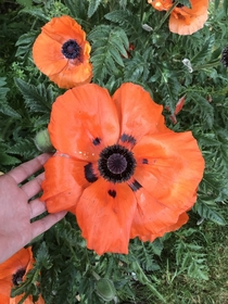 Last years oriental poppy from my friends garden I have quite large hands for reference