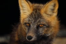 Late afternoon sun in the eyes of this Red Fox Vulpes vulpes Arctic National Wildlife Refuge  ireddit