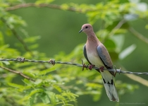 Laughing Dove - Streptopelia senegalensis -  - Lodai Kutch Gujarat India