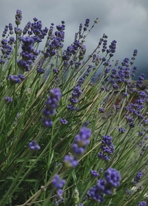 Lavandula angustifolia or lavender to its friends - dramatic against todays black sky