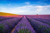 Lavender beauty in Provence France