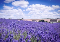 Lavender farm in the Cotswolds England