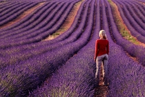 Lavender Field in Provence France  photo by Klempa