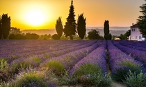Lavender field just outside of Bonnieux France