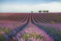 Lavender Field Provence France  photo by Margarita Chernilova
