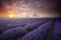Lavender fields in the UK  Photo by Antony Spencer