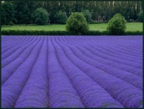 Lavender Fields of Kent England