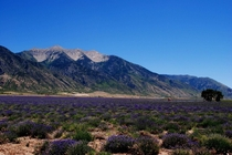 Lavender Fields of Utah
