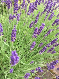 Lavender Hertfordshire England Shame this is not smellyvision I love the clean sharp aroma of lavender