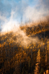 Layers of Larch trees in their full Autumn glory Montana USA