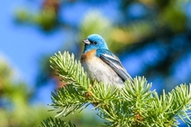 Lazuli Bunting between singing bouts along the Clark Fork River