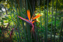 Leafless Bird of Paradise Strelitzia juncea