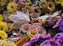 Leaves and flowers are covered with ice crystals in Dresden Germany