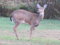 -Legged Deer in my Backyard