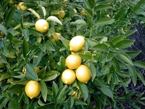 Lemons Citrus limon photo by Allen T Chang