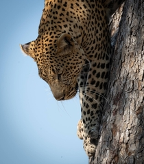 Leopard coming down a tree