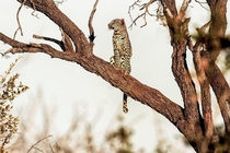 Leopard in a tree Timbavati Nature Reserve South Africa