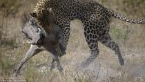 Leopard Panthera Pardus and Warthog Phacochoerus Africanus  by Mike Bailey
