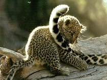 Leopard Panthera Pardus cub playing with its mothers tail