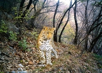 Leopard Panthera Pardus in western China